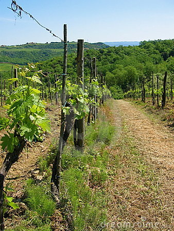 Tuscan vineyard in springtime