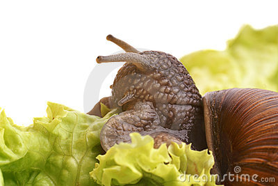 Large snail eating salad