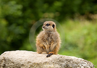 Young Meerkat on the Lookout
