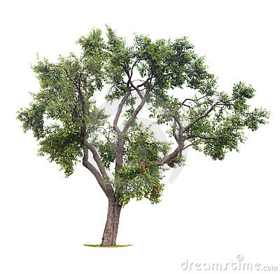 Isolated plum tree