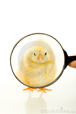 Chicken looking through a magnifier