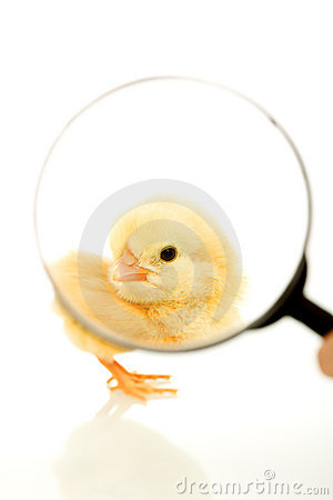 Chicken under magnifier