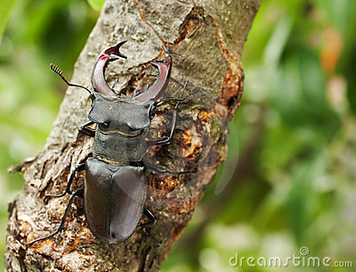 Stag beetle on a tree branch