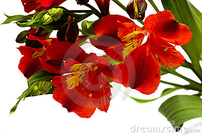 Red flowers isolated