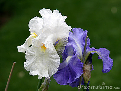 The Couple of Irises