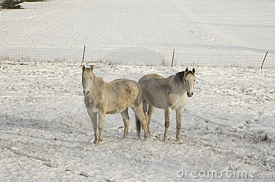 A couple of horses standing in white snow
