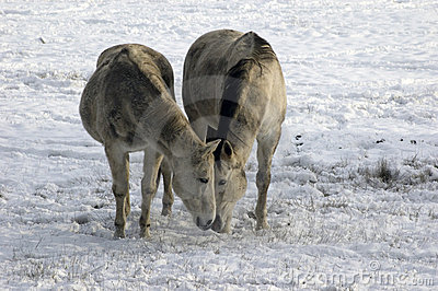 Two horses eating together in snow