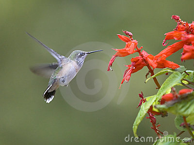 Hummingbird flaps its wings.