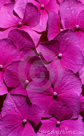Pink flowers (Hydrangea) close-up