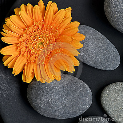 Gerbera Daisy and pebble