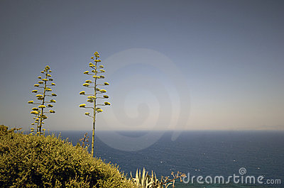 Blooming Agave sky blue