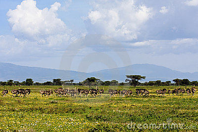 Ostrich Herd in Serengeti