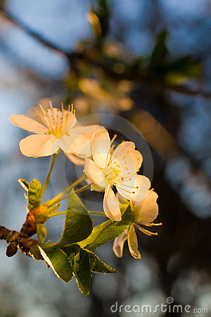 Beautiful apricot flowers lit by sunlight