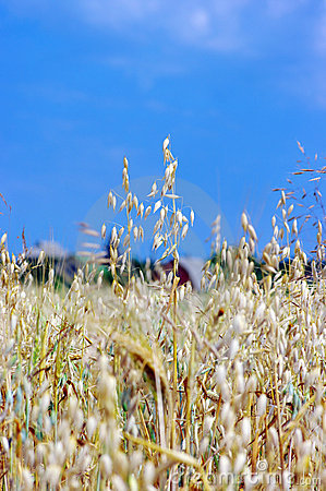 A photo of oats in summertime