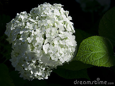 White hydrangea flowers and green sheet with raind