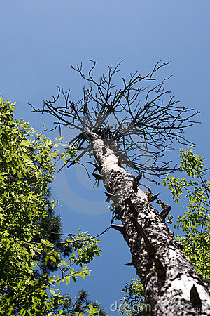 Tall Tree with no Leaves