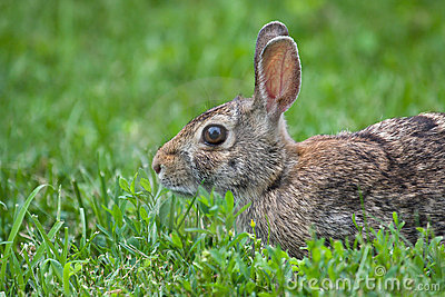 Jack Rabbit in the Grass