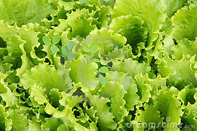 Salad leaves in a kitchen garden