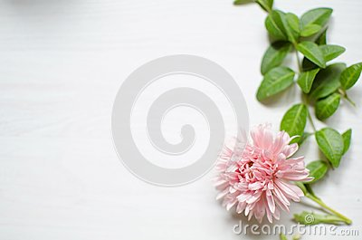 Midtone aster flower ont the white background with green leaves.