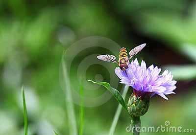 Colorful hover fly