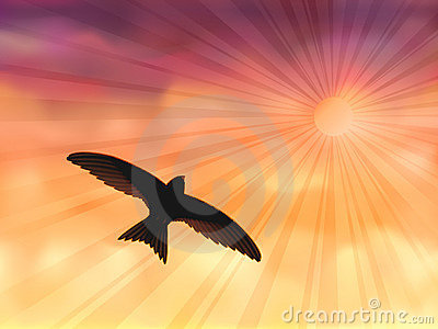 Swallow in the evening sky