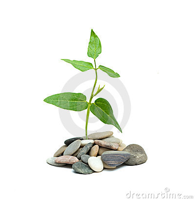 Shoot of tree growing from pebbles
