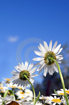 Two daises turning back on a blue sky