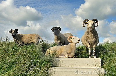 Sheep on top of the dike