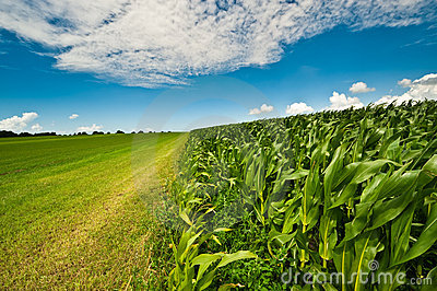 Corn on farmland in summer