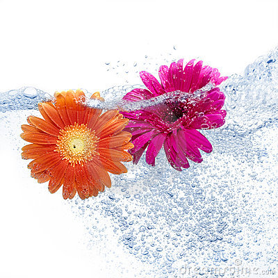 Two daisies into the water