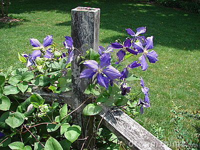 Clematis Vine on Fence