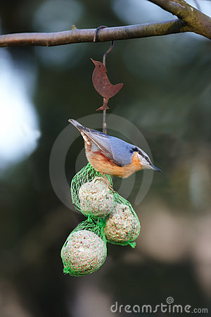 Nuthatch the colored sparrow