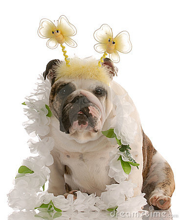 Bulldog wearing funny costume