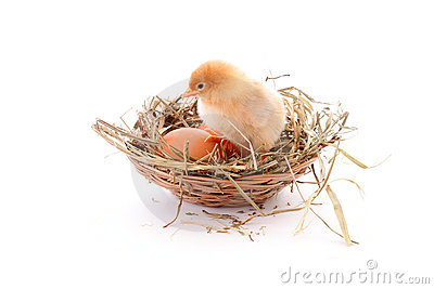 Chicken in nest