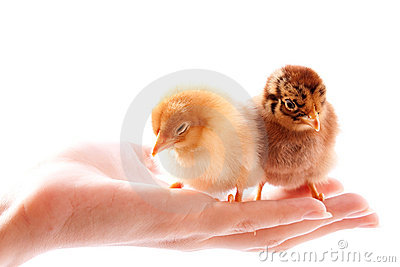 Chickens on the hand