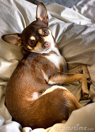 Pure Breed Brown Chihuahua