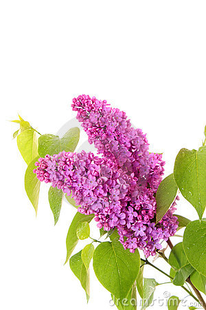 Violet lilacs isolated