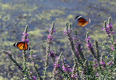 Butterflies and blossoming rosemary