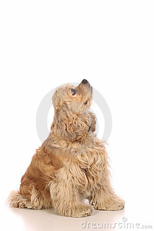 American Cocker Spaniel looking up