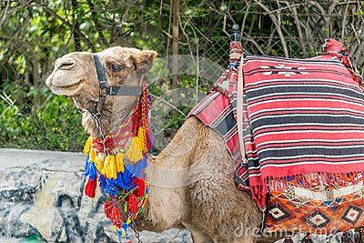 Camel nicely dressed