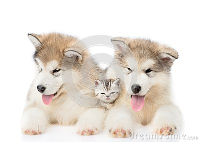 Two Alaskan malamute puppies lying with tiny kitten. isolated on white background