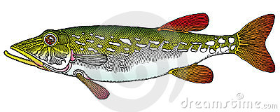 Pike color vectored drawing