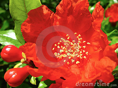 Red Pomegranate Flowers