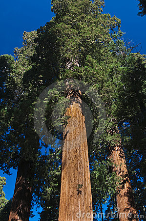 Upward angle of Redwood tree