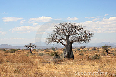 Thick baobab trees in African bush