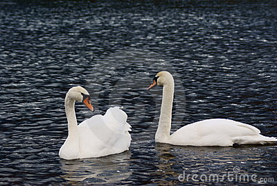 Couple of swans_2