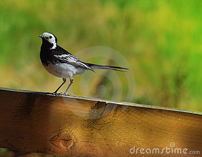 Pied Wagtail on Fence