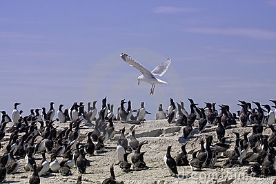 Staple Island gull and guillemots