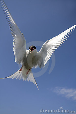 Arctic Tern Attacking