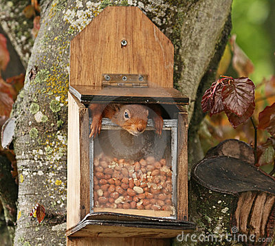 Red Squirrel inside peanut feeder
